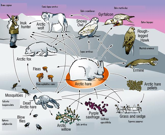 tundra biome animals list
